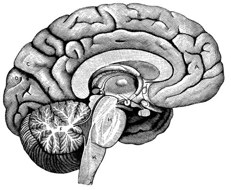 Brains Not by Unlabeled Brain Diagram Cliparts Co
