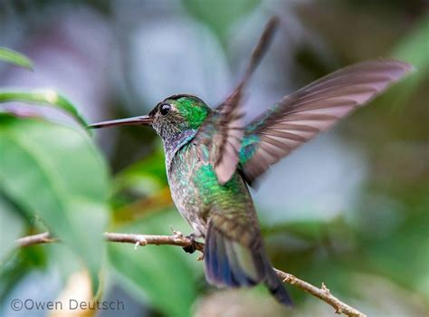 1000 images about hummingingbird on pinterest nests