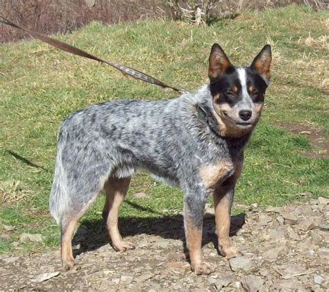 australian cattle colors 6 heeler colors s best friend