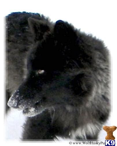 black wolf hybrid puppies for sale wolf puppy for sale hybrid puppies for sale black phase coming soon 5 years