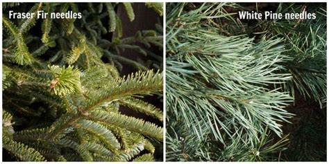 types of live christmas trees tips for choosing a live tree two purple couches