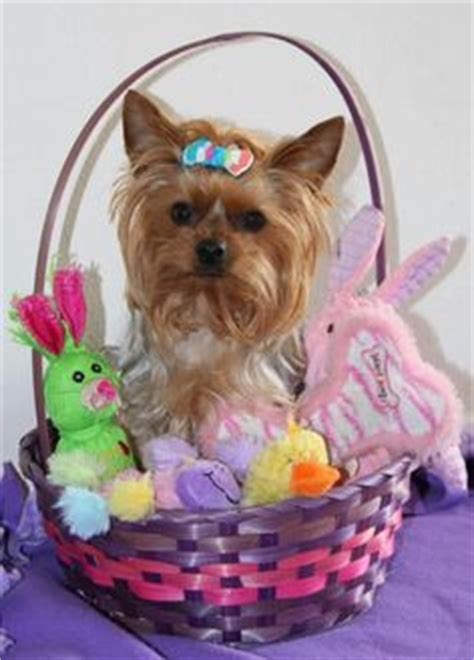 my yorkie keeps shaking 1000 images about sweet sweet yorkies on yorkie terrier and