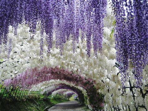 flower tunnel kawachi fuji gardens hungry hungarian