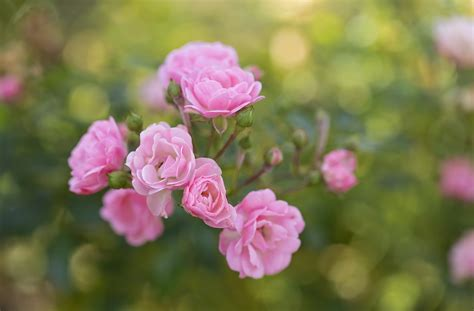 wallpaper flower rose free download roses flowers hd wallpapers free download