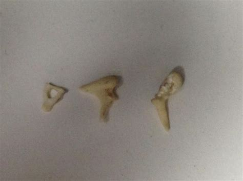 real human ear ossicles malleus incus stapes bones