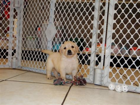 golden retriever breeders in atlanta wonderful golden retriever puppies for sale in atlanta at atlanta columbus