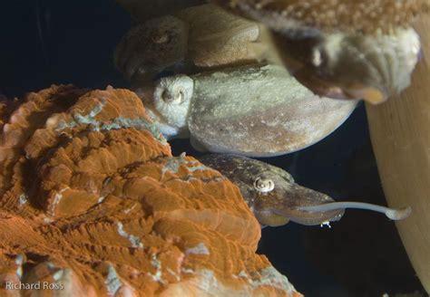 Steinhart Aquarium the first to successfully breed dwarf ...