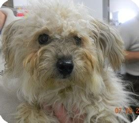 miniature poodle and yorkie mix fred adopted puppy 4 sandusky oh yorkie terrier poodle miniature mix