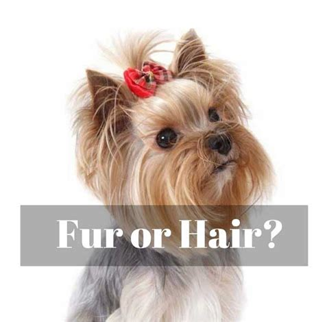 do dogs hair or fur do yorkies fur or hair yorkiemag