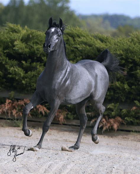 grey paint sles horses for sale horses ii pinterest horse steel and