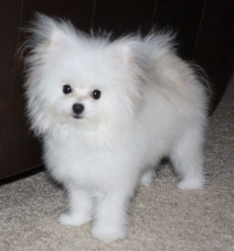 are pomeranians hypoallergenic pomeranian maltese mix pets animals maltese animal and