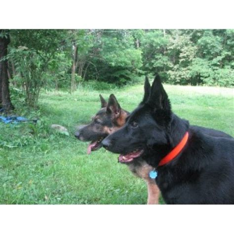 free puppies in nh eurohund german shepherd breeder in franconia new hshire listing id 22449