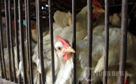 Bibit Ayam Medan pengusaha berencana kurangi produksi bibit ayam