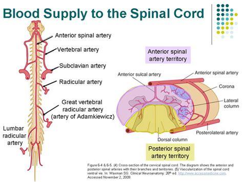 circulation motor sensory anterior spinal artery search neuro