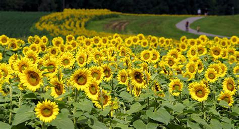 sunflower patch biltmore house gardens top spots