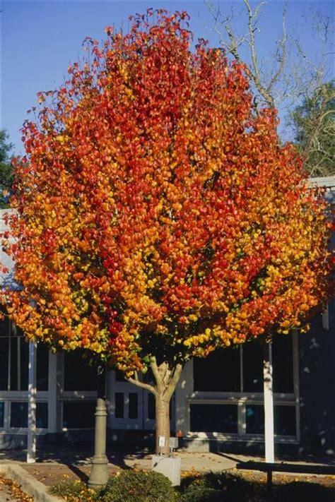 medium sized flowering shrubs aristocrat pear is an outstanding medium sized ornamental