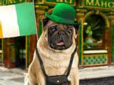 pug mahones free st patricks day ecards americangreetings