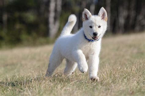Mixing White white shepherd husky mix www imgkid the image kid has it