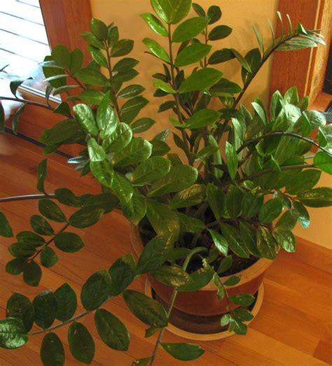 easy house plants zz plant easy to grow house plant