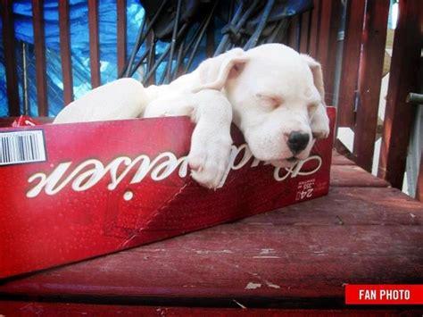 budweiser puppy budweiser puppy bud
