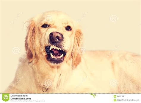 golden retriever teeth angry golden retriever stock photo image 68547168