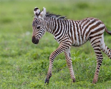 baby zebra anamils babies