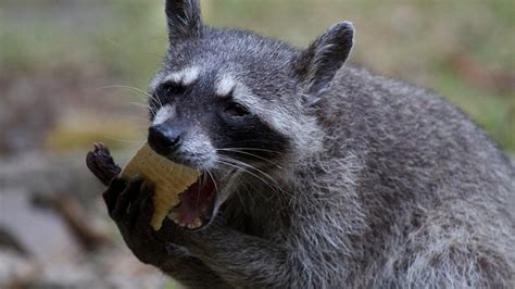 what raccoons eat choosing the best bait for a trap