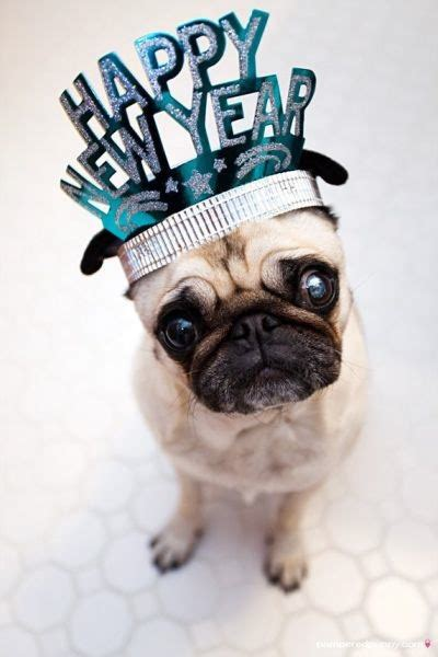 new pug puppy happy new year pug photo and wallpaper beautiful happy new year pug pictures