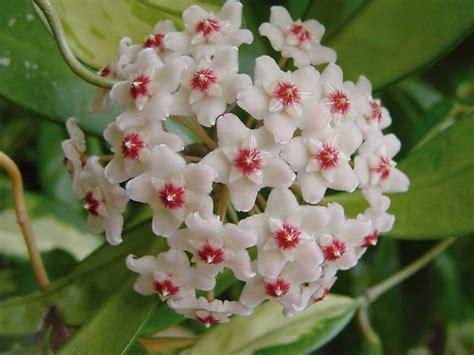 fiore di porcellana hoya fiore di cera hoya carnosa giardinaggio mobi