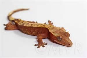 for sale sub adult female crested gecko candygram