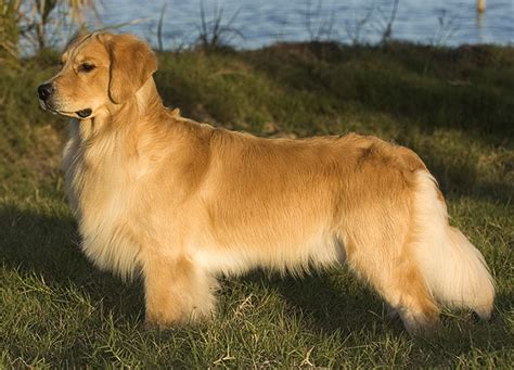 gemini golden retrievers puppy the dogs of gemini goldens akc breeder of golden retrievers located in rockledge florida