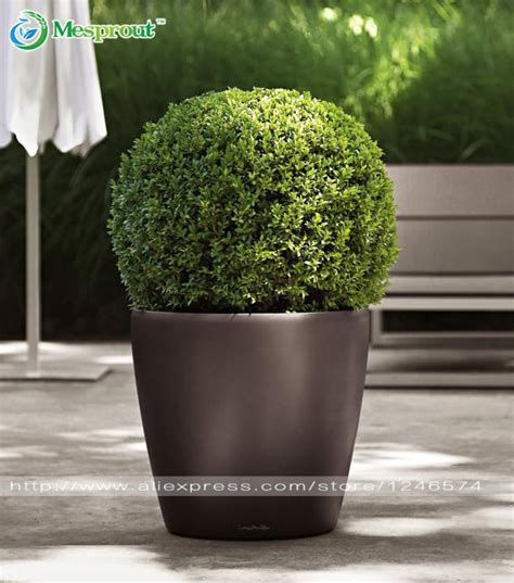 insect repellent plants vegetable garden 50pcs home garden plant bonsai boxwood seeds insect