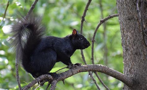 Black Squirrel Wikipedia Black Squirrel
