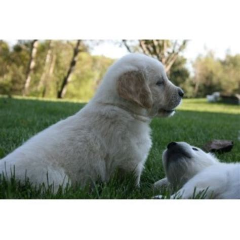 golden retriever breeders in minnesota mapleleaf goldens golden retriever breeder in big lake minnesota