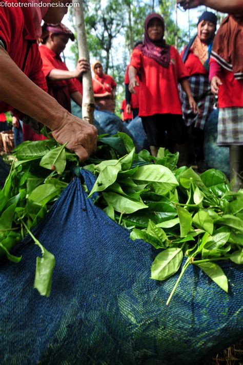 Teh Ekspor ekspor teh hitam ke jepang dan amerika meningkat 50