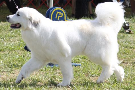 great pyrenees dogs great pyrenees breed information great pyrenees images great pyrenees breed info