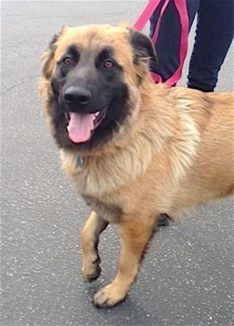 golden retriever belgian shepherd mix pin by clark on future dogs