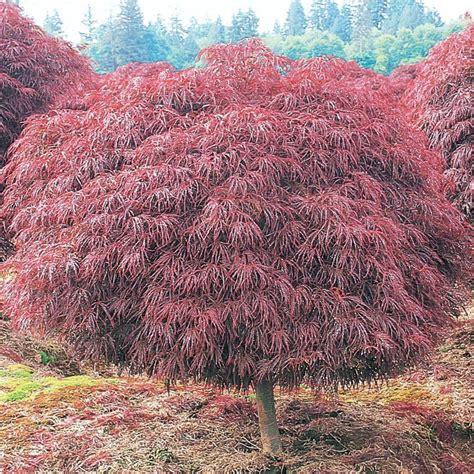 shop 5 5 gallon crimson queen japanese maple l4164 at lowes com