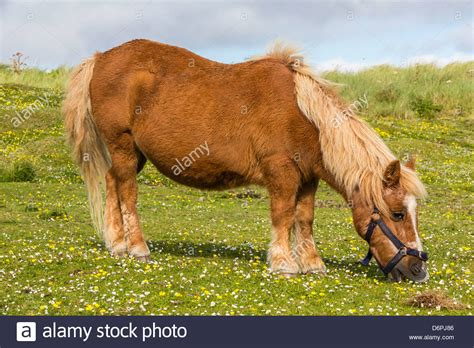 shetland pony stock photos images royalty free shetland shetland pony jarlshof shetland isles scotland united
