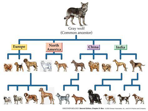 origin of dogs evolution history dogica 174 3d domestication evolution timeline tree