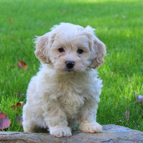 dorgi puppies for sale view explore all breeds greenfield puppies
