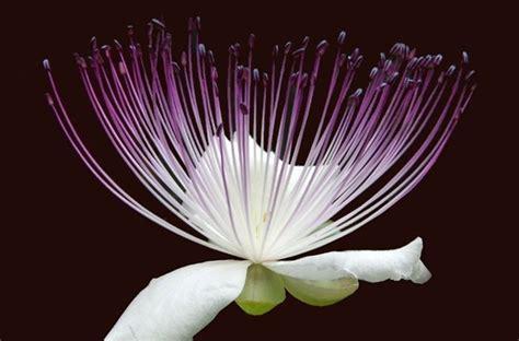 fiore di cappero fiore cappero aromatiche caratteristiche fiore