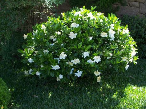 Gardenia Proof Proof Gardenia Buy Large Proof Gardenias