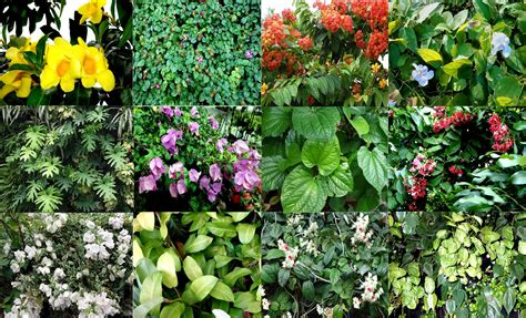 climbing plant names garden climbers and creepers in malaysia and singapore