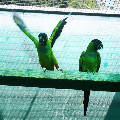 conuro testa nera allevamento pappagalli di luigino garbuglia i pappagalli