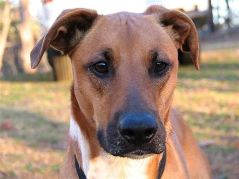doberman pug mix 15 boxer cross breeds you ve got to see to believe