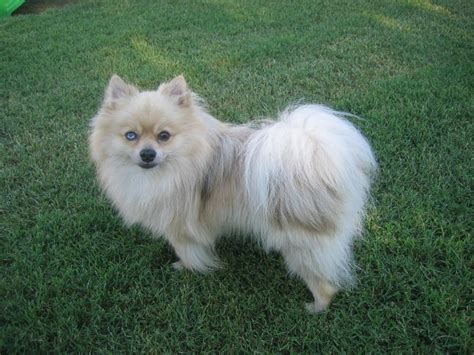 pomeranian large breed keno pomeranian breeds