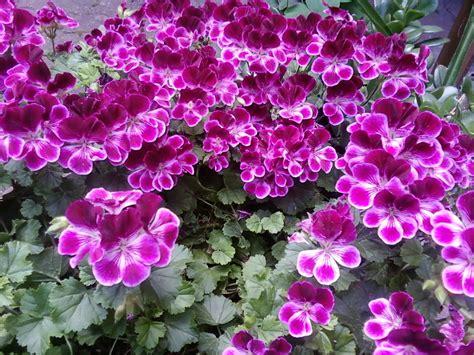 fiori liguria portal ikariam italia
