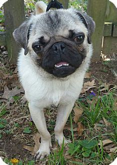 pug puppies for adoption in missouri top 25 best pugs for adoption ideas on pug puppies for adoption baby