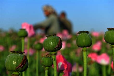 Opium by Harvesting Opium In Afghanistan S Poppy Fields